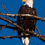 Voting for Wildlife Extermination