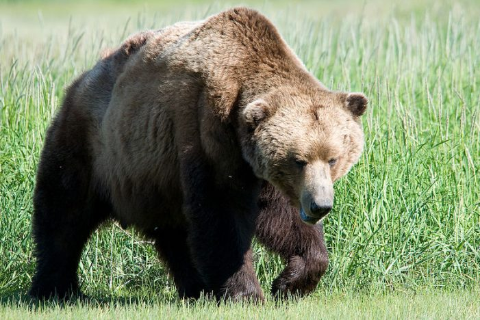 Ever Wonder How Bears Elect Their Leader?