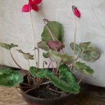 The Cyclamen Plant, Continued