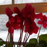 Remember the Cyclamen?