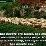 Sheep Never Stalk The Tiger