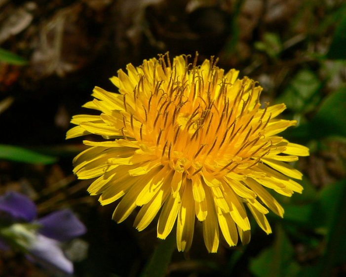 The Continuing Saga of the Dandelion War (RR)