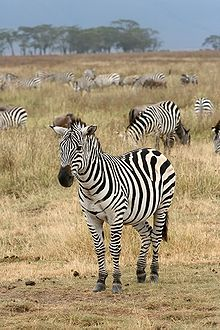 A Zebra and its Stripes