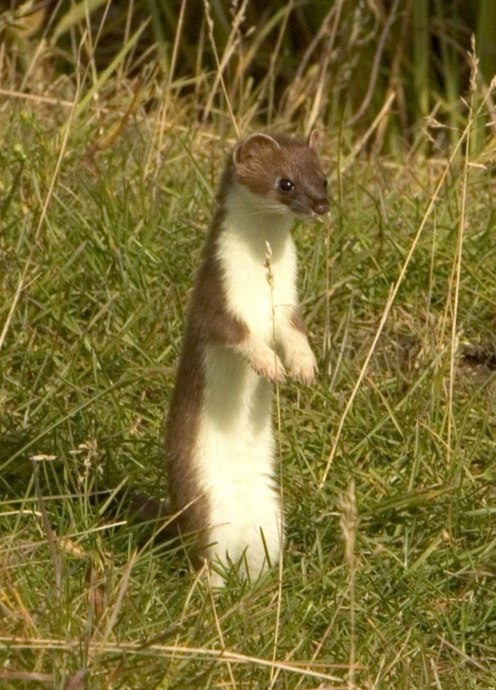 The Dance of the Muslim Stoat
