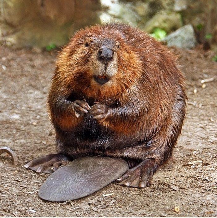 Beaver that Time Forgot (RR)