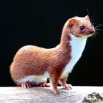 There be Weasels in Washington (RR)