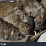 Big Swamp Rats Have Little Swamp Rats (RR)