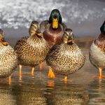 A Story about Ducks (RR)