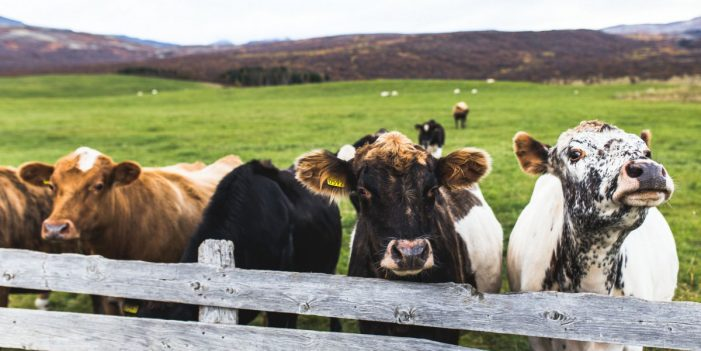 Growing Drive to Destroy the Beef Industry
