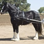 Cob, Shire, Draught and Clydesdale- All but Gone!
