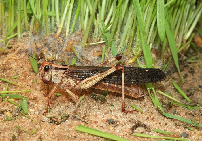 The Real Reasons Africa has Another Locust Plague