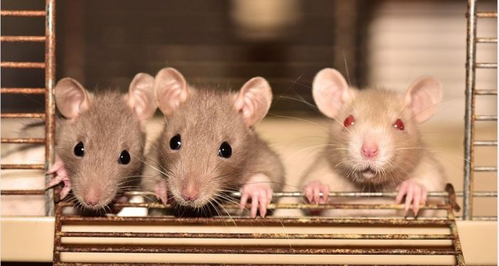 Three Blind Mice, correction:  Rats
