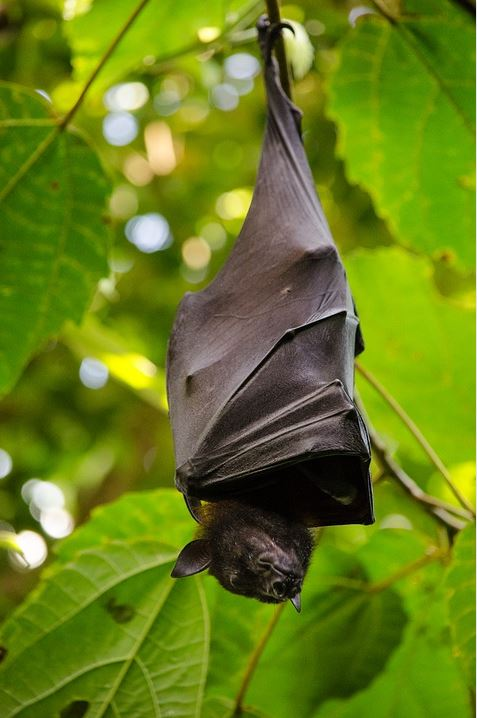 Coming Soon – the Oz-bat Epidemic