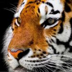 USDA:  SARS Virus Found in Tiger at New York Zoo